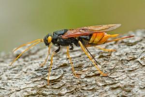 viespi gigant