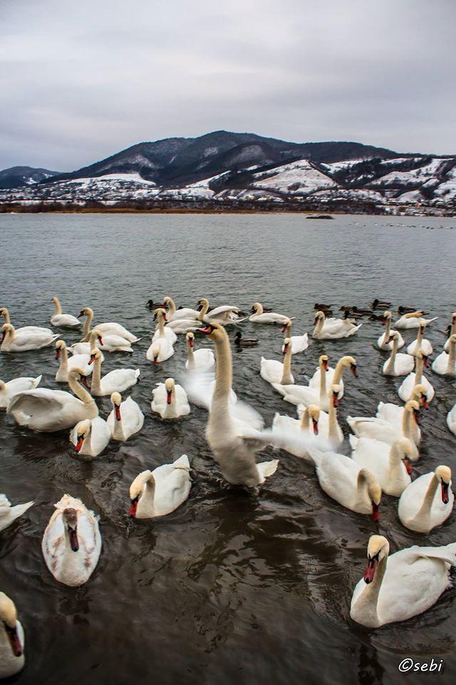 Epidemie de gripă aviară în Neamț?! Alte 6 lebede moarte au fost găsite pe lacul Bâtca Doamnei!