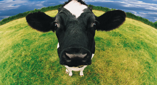 La zdup după ce au furat o vacă din Zănești