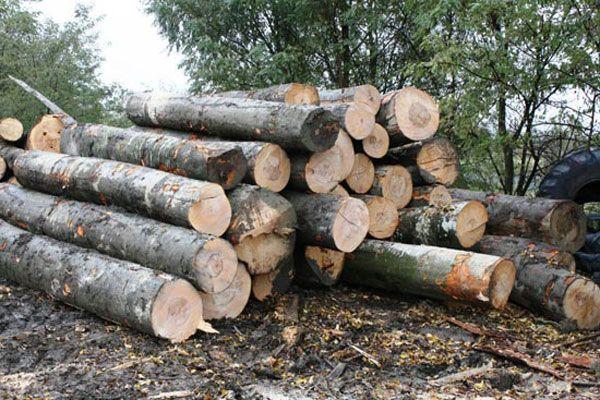 Depozit cu zeci de arbori tăiați ilegal, în curtea unui localnic din Poiana Teiului